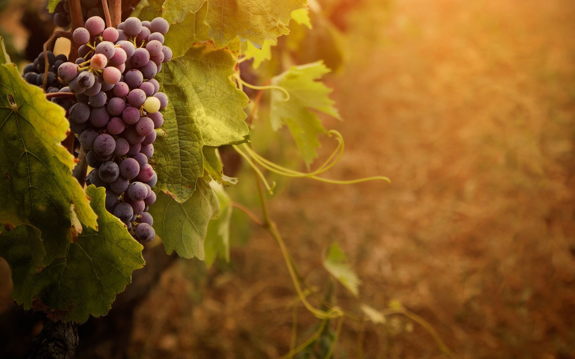 grape-cluster-vine-sunny-day-wide-hd-wallpaper